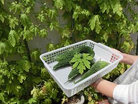 ゴーヤ収穫祭
